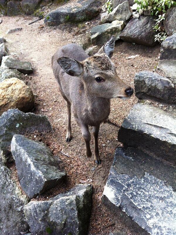 宮島_厳島_弥山の鹿