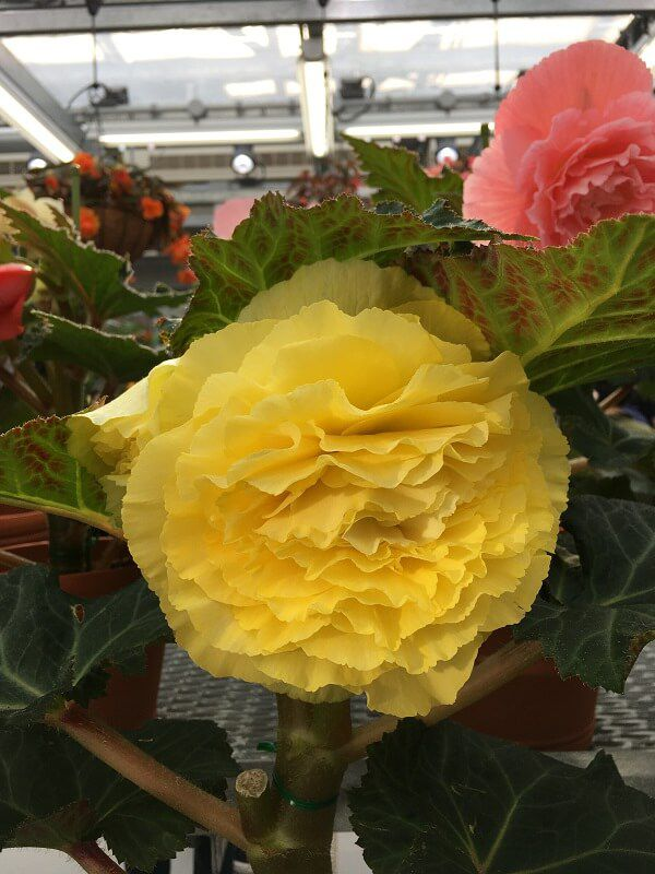 神代植物公園_大温室_黄色いバラ1