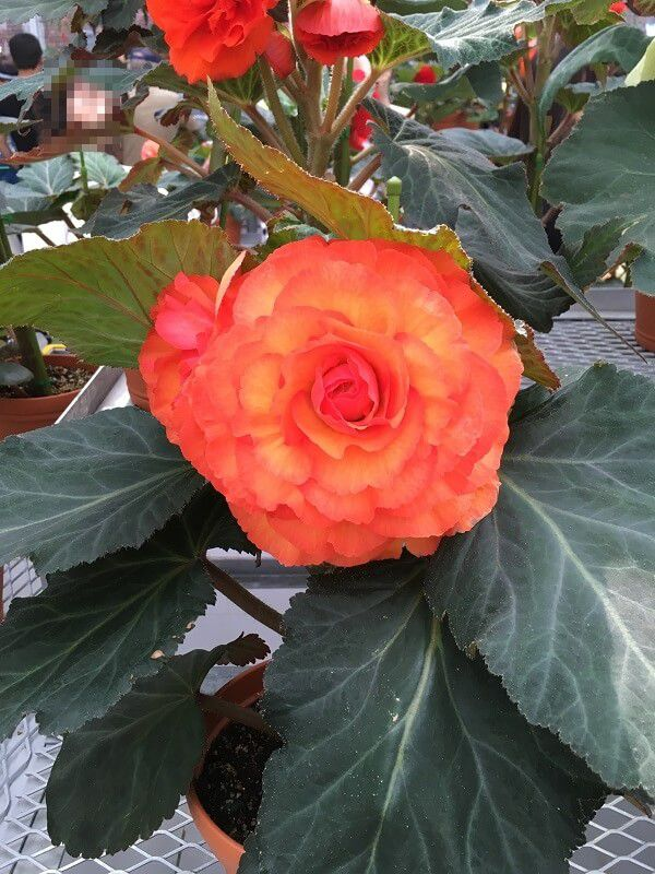 神代植物公園_大温室_赤いバラ1