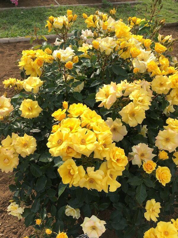 神代植物公園_大温室_黄色いバラ2