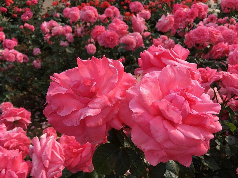 神代植物公園_ピンク色のバラ1