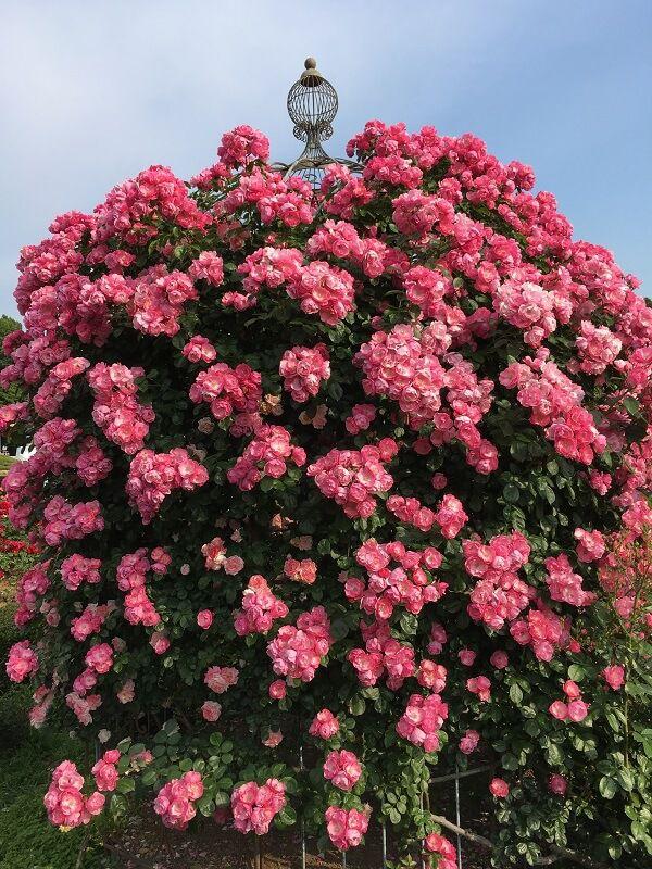 神代植物公園_ピンク色のバラ2