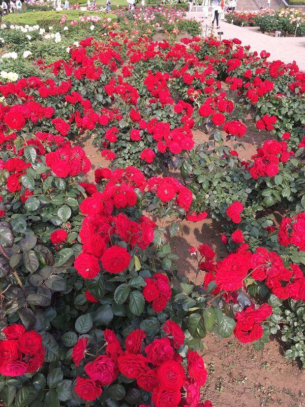 神代植物公園_大温室_赤いバラ2