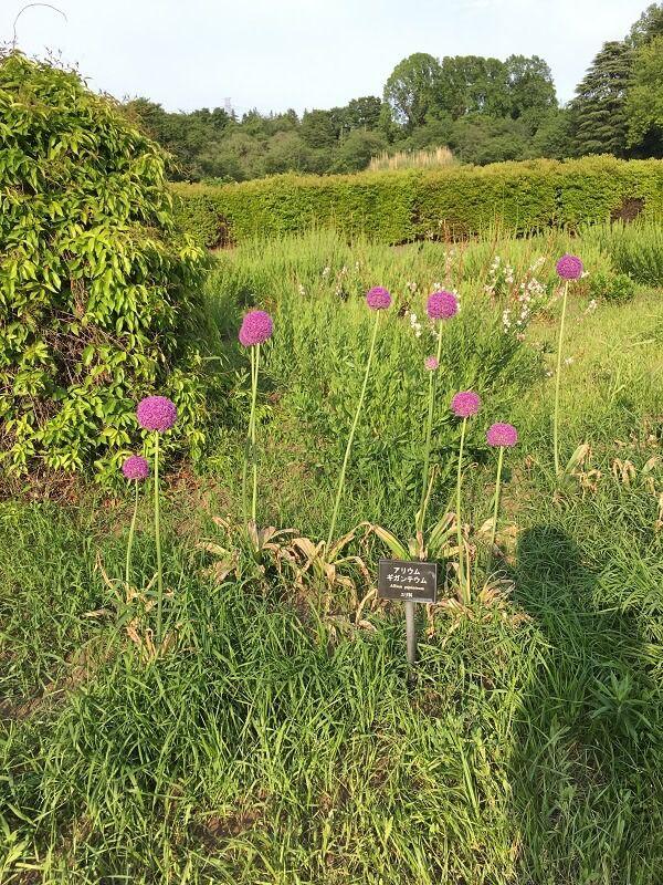 神代植物公園_アリウム・ギガンテウム