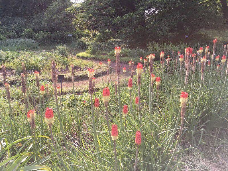 神代植物公園_トリトマ1