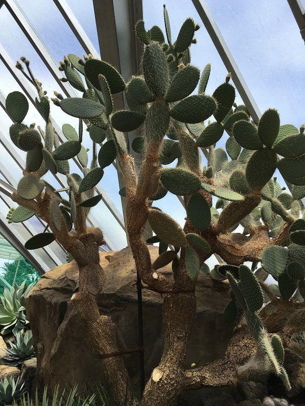 伊豆シャボテン公園 シャボテン温室 サボテン 木