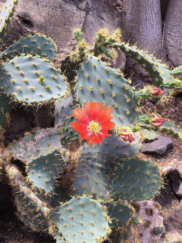 伊豆シャボテン公園 シャボテン温室 サボテン 紅武扇 花
