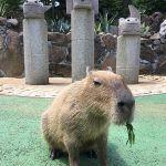 伊豆シャボテン公園でカピバラの温泉入浴姿を覗いてきた