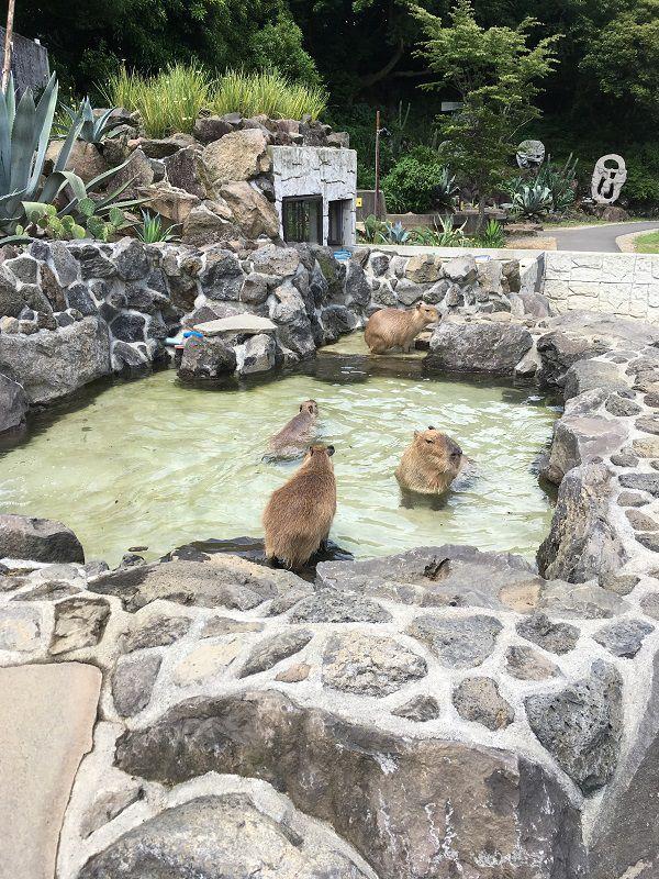 伊豆シャボテン公園 カピバラ虹の広場 露天風呂 温泉1