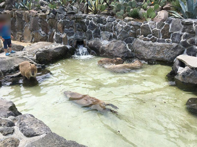 伊豆シャボテン公園 カピバラ虹の広場 露天風呂 温泉2