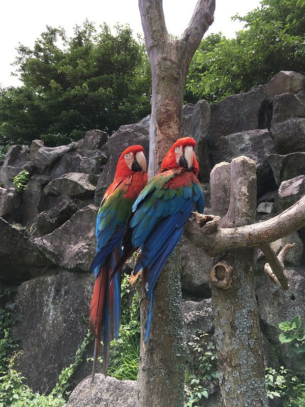 伊豆シャボテン公園 コンゴウインコ