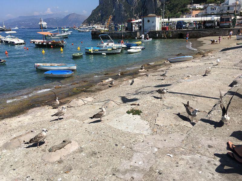 イタリア カプリ島 マリーナ・グランデ海岸の鳥