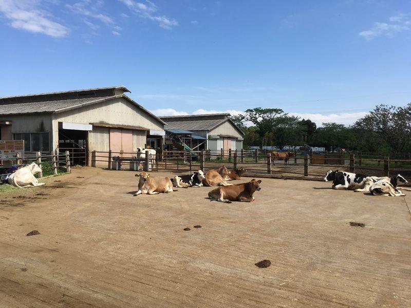 成田ゆめ牧場 牛 うしの放牧場