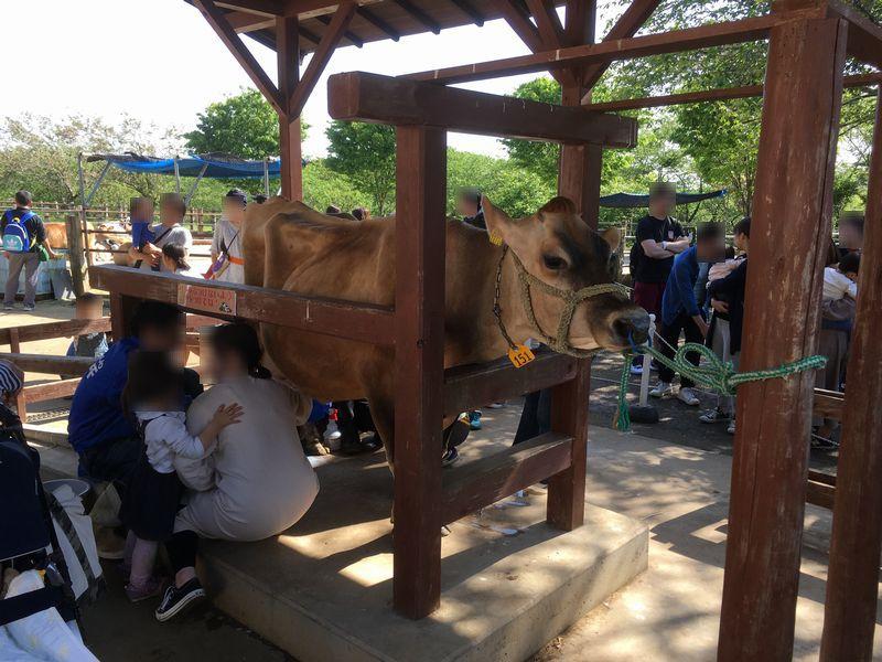 成田ゆめ牧場 牛 乳搾り教室