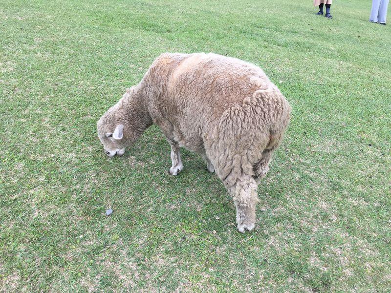まかいの牧場 羊の放牧場