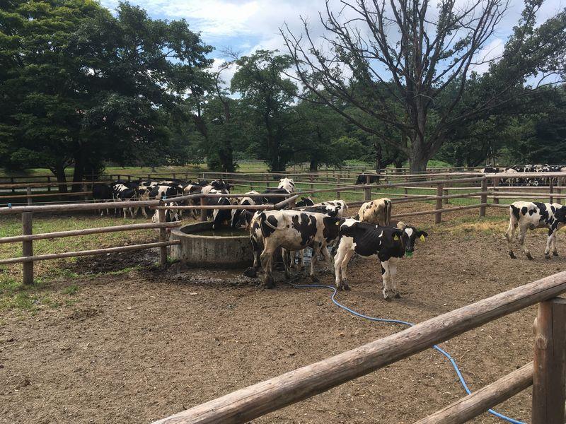 小岩井農場 上丸牛舎 三号牛舎前 子牛