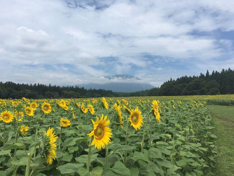 小岩井農場 大花壇 ひまわり畑 山