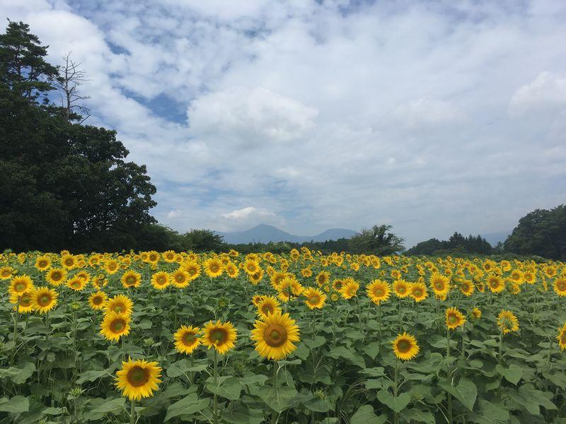 小岩井農場 大花壇 ひまわり畑