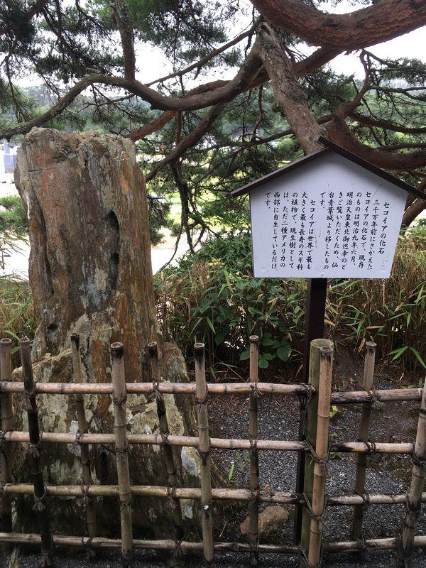 松島 観瀾亭 セコイアの化石