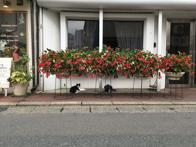 盛岡 花 猫