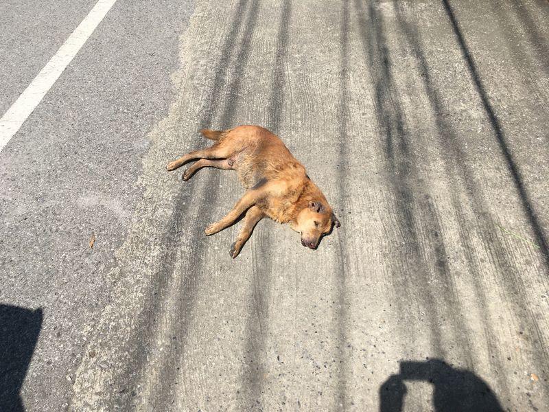 タイ 野良犬