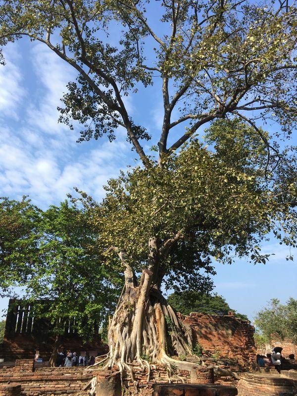 タイ アユタヤ遺跡 ワット・マハタート 菩提樹 木 根