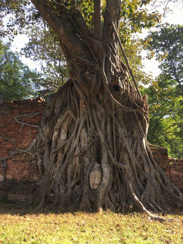 タイ アユタヤ遺跡 ワット・マハタート 菩提樹 木 根 仏頭