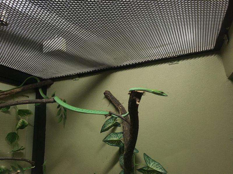 タイ バンコク スネークファーム SNAKE FARM ヘビ オオアオムチヘビ