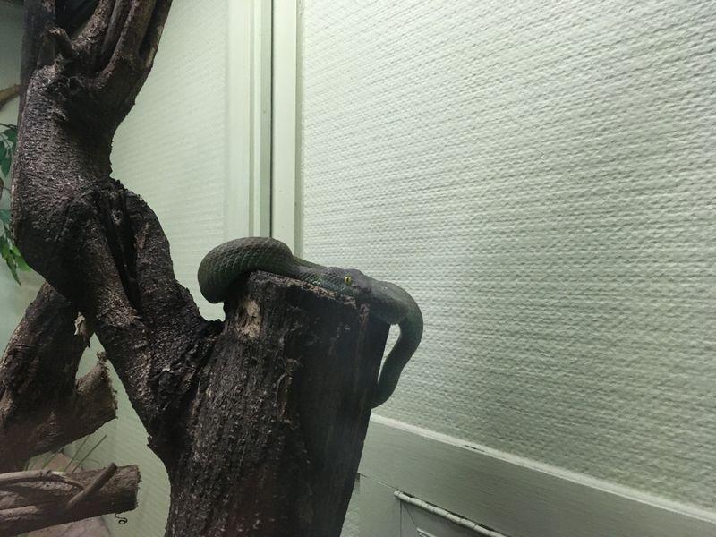 タイ バンコク スネークファーム SNAKE FARM ヘビ Big-eyed Pitviper